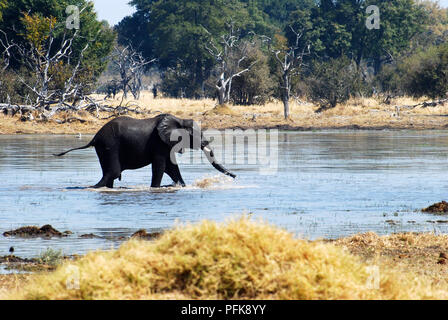 Crossing the river , Baby Elephant - Stock Image