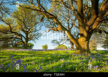 Bluebells at sunrise in South Downs National Park, West Sussex, England. - Stock Image