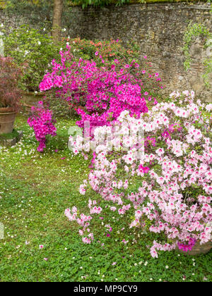 Azaleas in bloom within Lucca Botanical Garden, Lucca, Tuscany, Italy, Europe - Stock Image