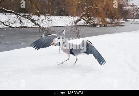 Grey Heron,(Ardea cinerea), winter snow in Regents Park, London, United Kingdom - Stock Image
