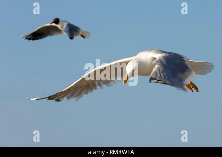 Wild birds on the fly are looking for food. The flight of a lonely seagull or a group of seagulls can be easily observed in the sky above the Baltic S - Stock Image