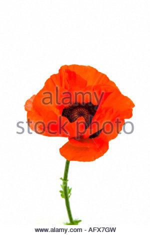 Scarlet poppy (popaver rhoeas) - Stock Image