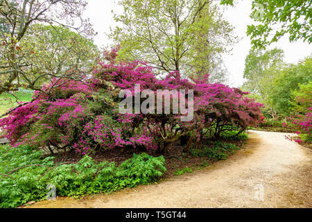Ver large  Rhododendron bush, Surrey, England - Stock Image