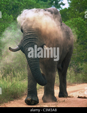 Bull elephant Dusting Loxodonta africana Mala Mala Kruger South Africa - Stock Image