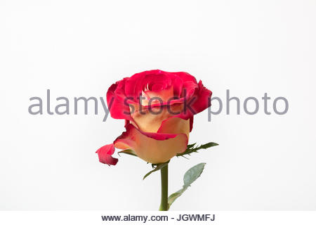 Red and yellow rose close-up againsst white background - Stock Image