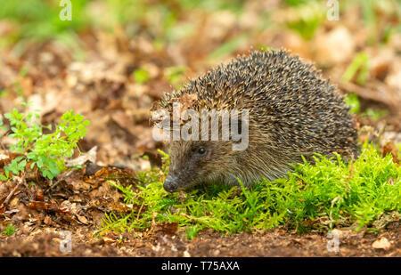 Hedgehog, (Scientific name: Erinaceus Europaeus) wild, native, European hedgehog in natural woodland habitat with green moss in Springtime. Horizontal - Stock Image