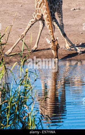 Giraffe, Giraffa camelopardalis, with its legs spread, drinking at a waterhole in Etosha National Park, Namibia, - Stock Image