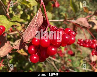 Red Currants Close Up - Stock Image