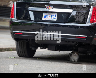 London, UK. 4th June, 2019. Larry the resident cat of Number 10 Downing Street walks past the red carpet and hides under 'the Beast' which is owned by President Trump while the president was meeting Theresa May.Credit: Keith Larby/Alamy Live News - Stock Image