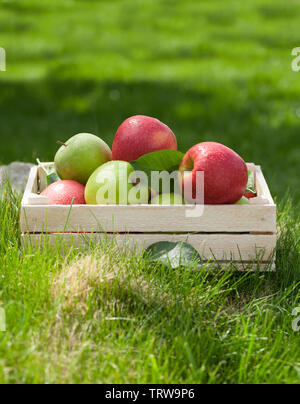 Fresh garden green and red apples in box. On outdoor grass meadow with copy space for your text - Stock Image
