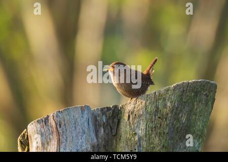 Eurasian Wren Troglodytes troglodytes bird singing in a forest during breeding Springtime season - Stock Image