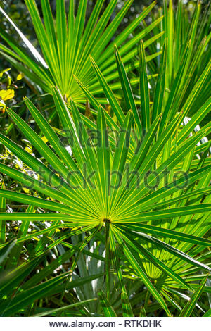 Saw Palmetto at Faver-Dykes State Park near St Augustine, Florida USA - Stock Image
