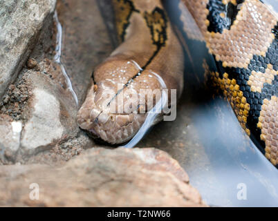 Close-up of the head of a large Pythion at Hartley's Crocodile Adventures, Captain Cook Highway, Wangetti, Queensland, Australia. - Stock Image