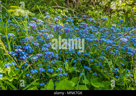Wild Forget Me Not Myosotis sylvatica flowers in a woodland setting - Stock Image