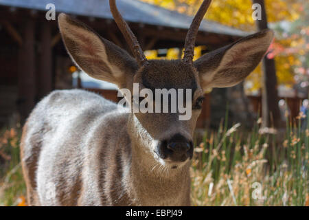 Deer, Yosemite Valley, Yosemite National Park, Mariposa County, California, USA - Stock Image