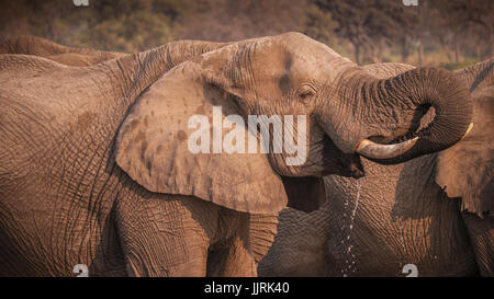 Male African elephant with tusks drinking water using his curled trunk. - Stock Image