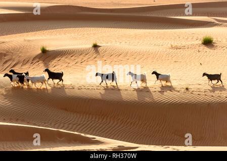 Goats walking through desert - Stock Image