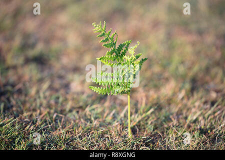 Young bracken plant sprouting up out of the soil in a meadow - Stock Image