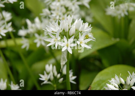 Wild garlic (Allium ursinum) in British woodland - Stock Image