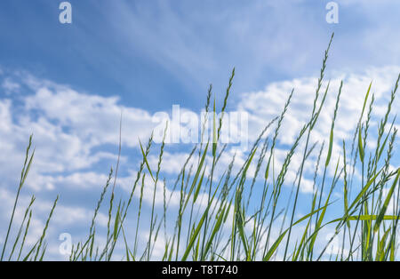 Tilt upward of tall green wild grass softly waving in the wind against blue sky with copy space - Stock Image