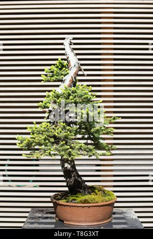 Picea engelmannii - Engelmann spruce - 80 year old bonsai, at Portland Japanese Garden in Portland, Oregon, USA. - Stock Image