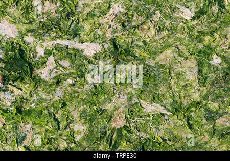 dried seaweed - Stock Image
