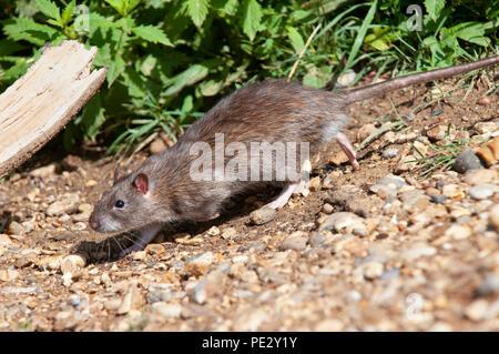 Brown Rat, (Rattus norvegicus), running on banks of Brent Reservoir, also known as Welsh Harp Reservoir, Brent, London, United Kingdom - Stock Image