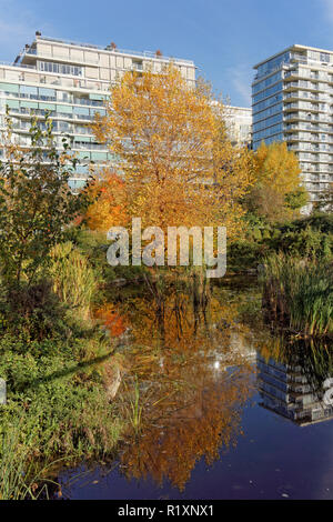 Deciduous tree with yellow fall foliage reflected in pond in Hinge Park in the former Olympic Village,  Vancouver, BC, Canada - Stock Image