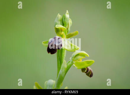 Ophrys fusca, sombre bee-orchid or the dark bee-orchid, Andalusia, Spain - Stock Image