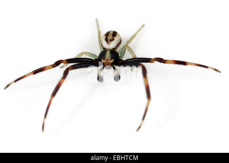 A male Goldenrod Crab spider (Misumena vatia) on white background. Family Thomisidae, Crab spiders. Misumena has - Stock Image