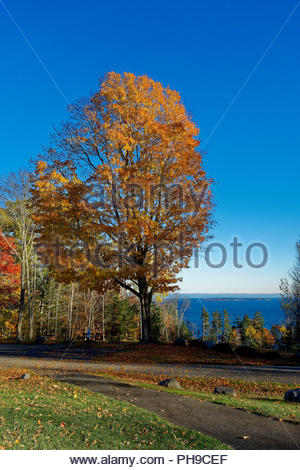 Maple tree in the fall, Camden, Maine, USA - Stock Image