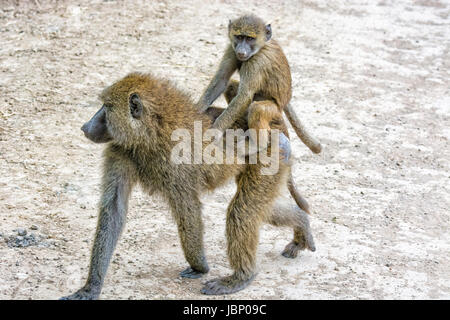 Cute baby Olive Baboon, Papio anubis, carried, riding, on its mother's back, Nakuru National Park, Kenya, East - Stock Image
