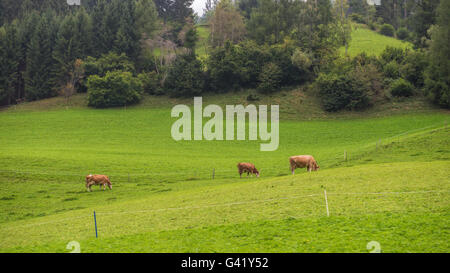 Typical Austrian landscape with cows - Stock Image