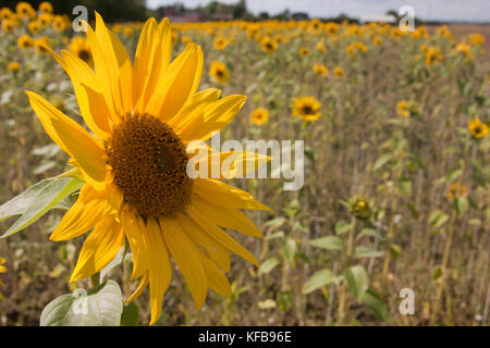 close up single flower in field of sunflowers (Helianthus Annuus), Barrrow in Humber, Lincolnshire, England - Stock Image
