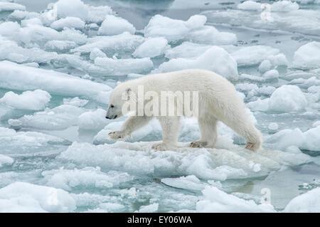 Cute Polar Bear Cub, Ursus maritimus, walking carefully on the melting Olgastretet Pack Ice, Svalbard Archipelago, - Stock Image
