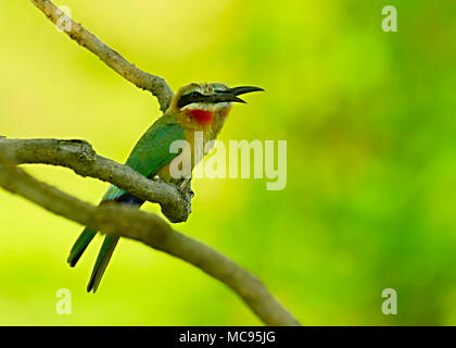 Detail portrait of shiny bird. Fiery-throated Hummingbird, Panterpe insignis, colour bird sitting on larch branch. Red glossy hummingbird in dark habi - Stock Image