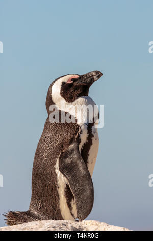 African penguin, Spheniscus demersus, standing on a rock and enjoying the sun, at Simonstown, South Africa - Stock Image