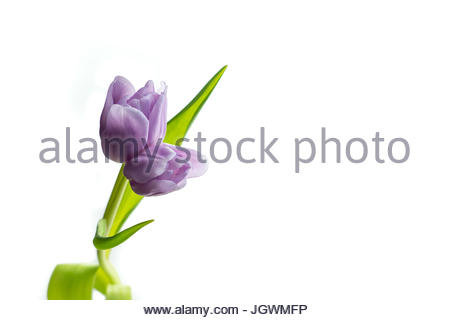 Tulip twin on one stem purple against white background - Stock Image
