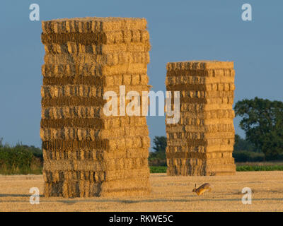 Straw stack in stubble field with hare running. - Stock Image