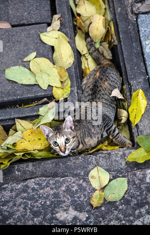Young Kitten Playing amongst the Leaves and cooling on the rain soaked pavement, Bangkok, Thailand. - Stock Image