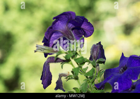 Petunia hybrida. Plant's hairy foliage is visible along with its purple and bluish withered and blooming flowers. A beautiful bokeh in a background. - Stock Image