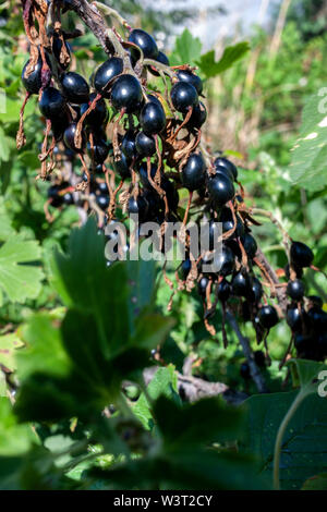 On the branch of a bush hangs ripe black currants on a natural background. - Stock Image