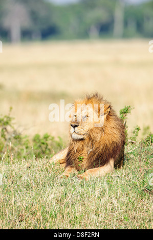 A full maned male lion lying in the grass in the Masai Mara in Kenya. - Stock Image