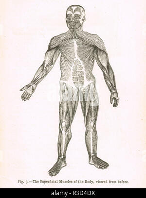 Superficial muscles of the body, viewed from above.   A 19th century diagram - Stock Image