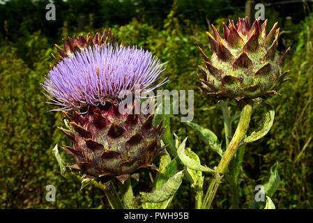 Cynara cardunculus (cardoon) is native to the western and central Mediterranean region where it grows in arid conditions. - Stock Image