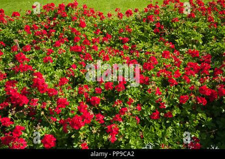 A Bed Of Red Pelargonium Geranium Flowers - Stock Image