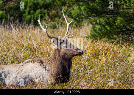 A young bull Roosevelt Elk (Cervus canadensis roosevelti) visits a salt marsh; Hammond, Oregon, United States of America - Stock Image