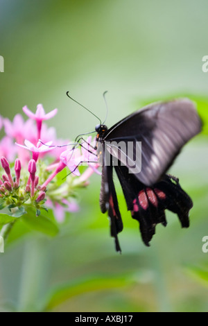 Pink and black butterfly on flower - Stock Image