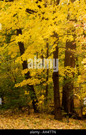 Autumn-colored leaves on trees in New England, Wellesley, Massachusetts - Stock Image