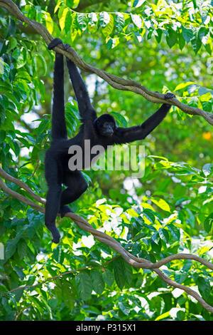 Wild Spider Monkey - Stock Image
